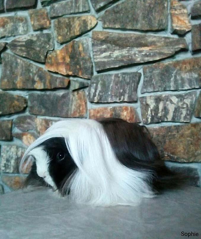 Το πλάσμα με το πιο εντυπωσιακό μαλλί στο ζωικό βασίλειο (23)