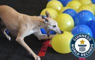 Πόσα δευτερόλεπτα χρειάζεται αυτός ο σκύλος για να σκάσει 100 μπαλόνια;