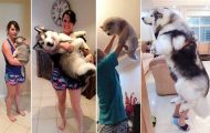 Αξιολάτρευτες φωτογραφίες σκύλων πριν και μετά την ανάπτυξή τους (1)