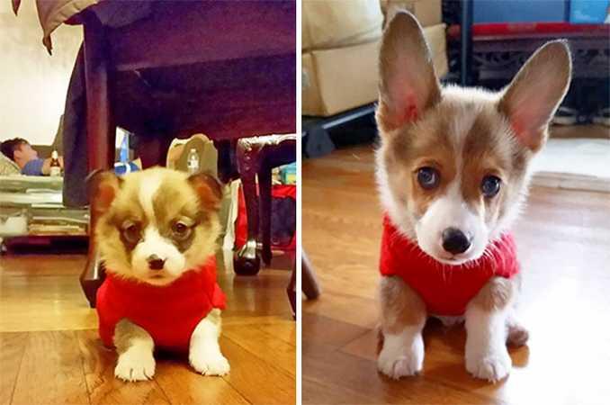 Αξιολάτρευτες φωτογραφίες σκύλων πριν και μετά την ανάπτυξή τους (9)