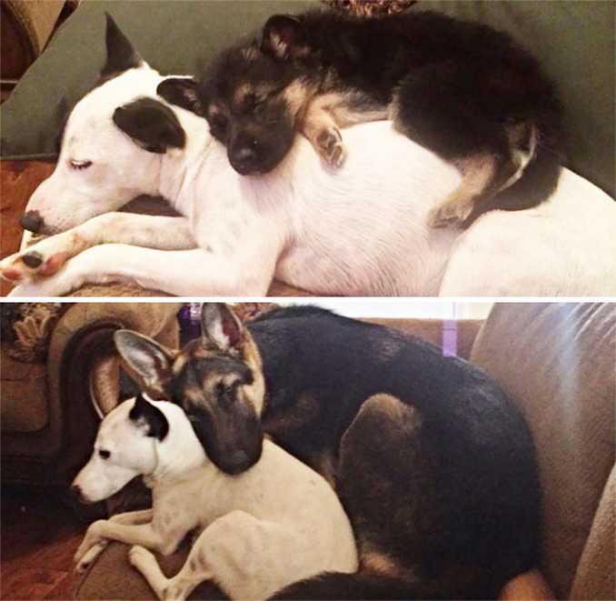 Αξιολάτρευτες φωτογραφίες σκύλων πριν και μετά την ανάπτυξή τους (10)