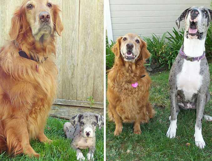 Αξιολάτρευτες φωτογραφίες σκύλων πριν και μετά την ανάπτυξή τους (11)