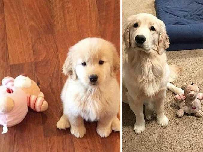Αξιολάτρευτες φωτογραφίες σκύλων πριν και μετά την ανάπτυξή τους (15)