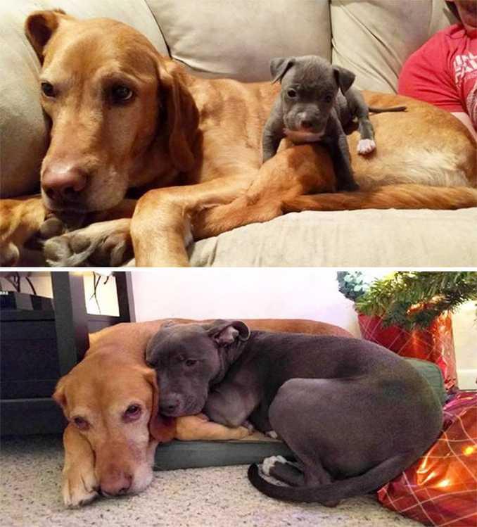 Αξιολάτρευτες φωτογραφίες σκύλων πριν και μετά την ανάπτυξή τους (16)