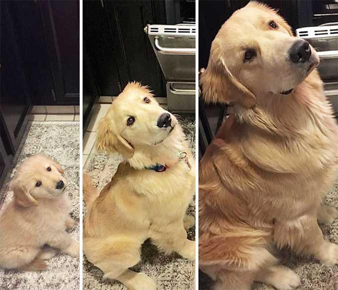 Αξιολάτρευτες φωτογραφίες σκύλων πριν και μετά την ανάπτυξή τους (21)