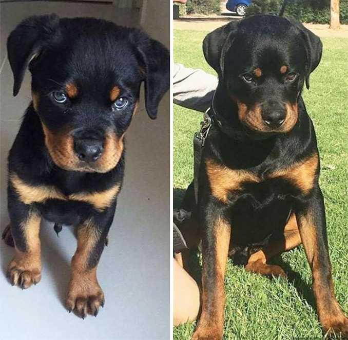 Αξιολάτρευτες φωτογραφίες σκύλων πριν και μετά την ανάπτυξή τους (26)