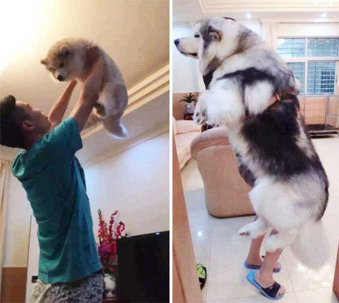 Αξιολάτρευτες φωτογραφίες σκύλων πριν και μετά την ανάπτυξή τους (28)