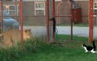 Γάτα τα βάζει με λιοντάρι
