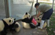 Το να είσαι φροντιστής των Panda είναι συνήθως μεγάλος μπελάς