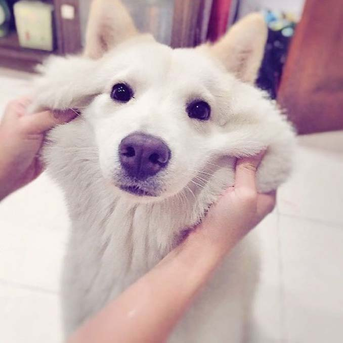 Σκύλοι με μάγουλα που είναι αδύνατον να μην ζουλήξεις (2)