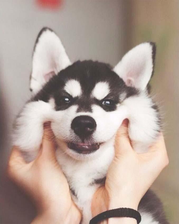 Σκύλοι με μάγουλα που είναι αδύνατον να μην ζουλήξεις (20)
