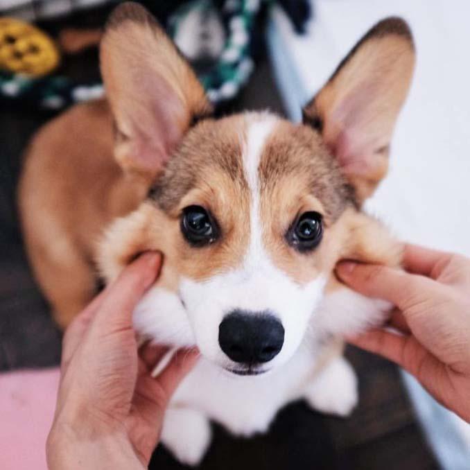 Σκύλοι με μάγουλα που είναι αδύνατον να μην ζουλήξεις (24)