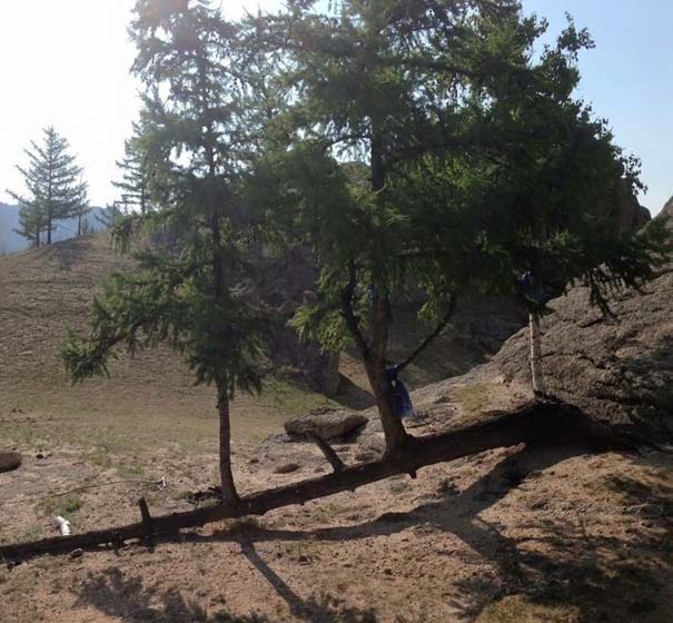 10 απίθανα δέντρα που αρνούνται πεισματικά να πεθάνουν (2)