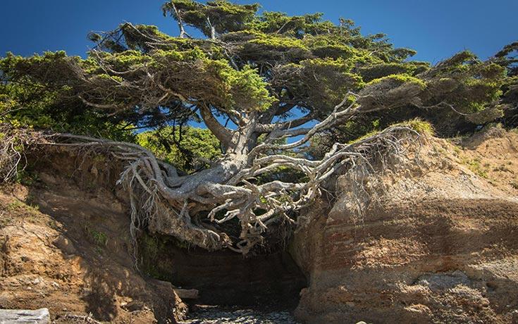 10 απίθανα δέντρα που αρνούνται πεισματικά να πεθάνουν (4)