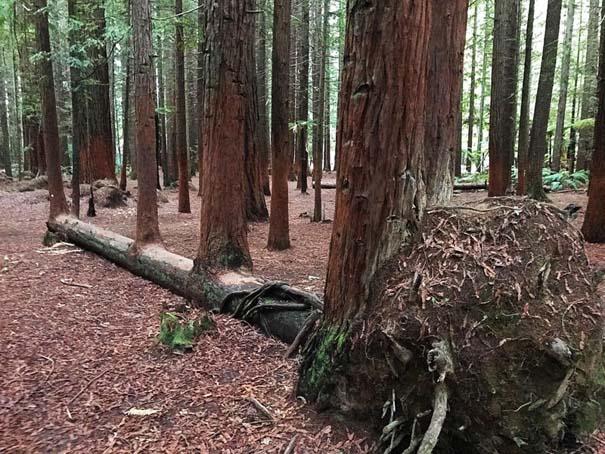 10 απίθανα δέντρα που αρνούνται πεισματικά να πεθάνουν (5)