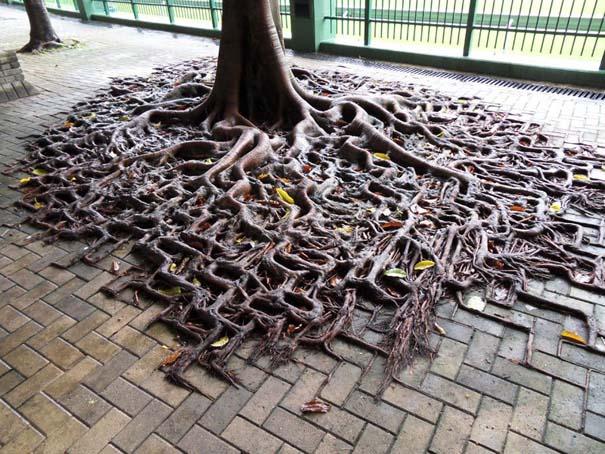 10 απίθανα δέντρα που αρνούνται πεισματικά να πεθάνουν (9)