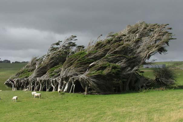 10 απίθανα δέντρα που αρνούνται πεισματικά να πεθάνουν (10)