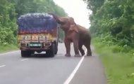 Ελέφαντας ακινητοποίησε φορτηγό με πατάτες και άρχισε να τρώει