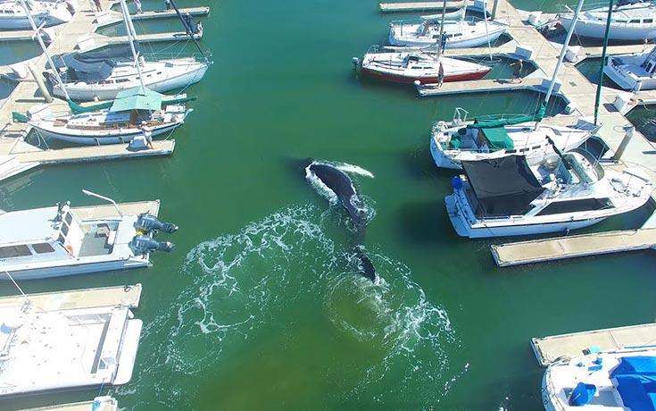 Φάλαινα εγκλωβίστηκε σε μαρίνα σκαφών