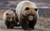 Κάνοντας πεζοπορία με μια αρκούδα γκρίζλι