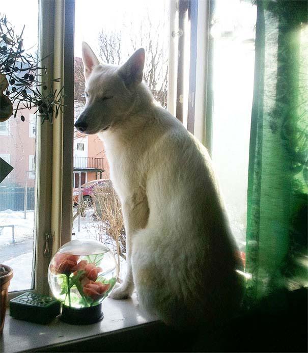 Σκύλοι που μάλλον νομίζουν πώς είναι γάτες (7)