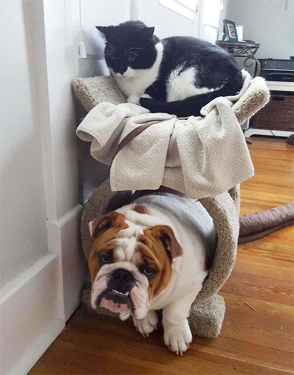Σκύλοι που μάλλον νομίζουν πώς είναι γάτες (10)