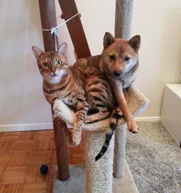 Σκύλοι που μάλλον νομίζουν πώς είναι γάτες (13)