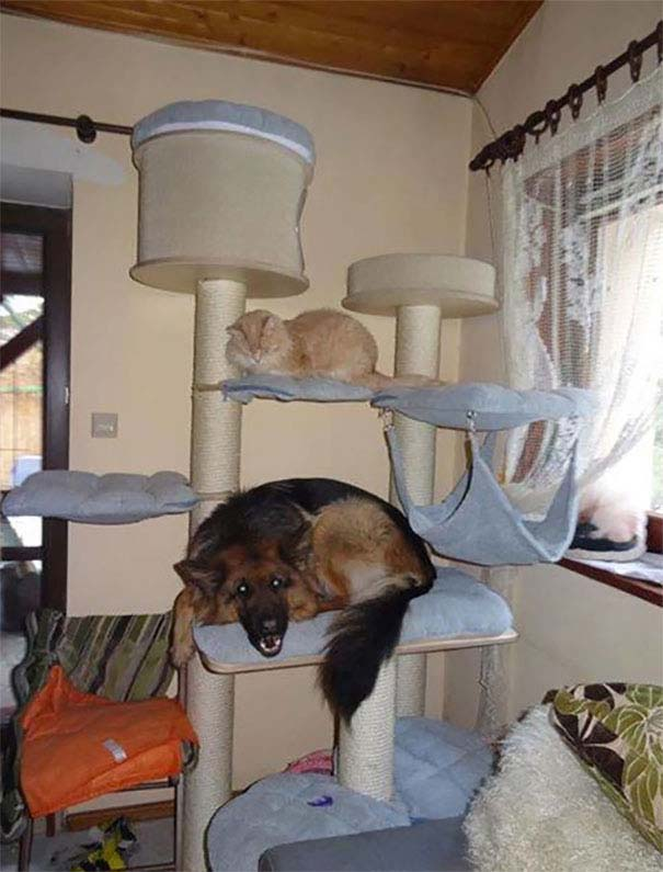 Σκύλοι που μάλλον νομίζουν πώς είναι γάτες (17)