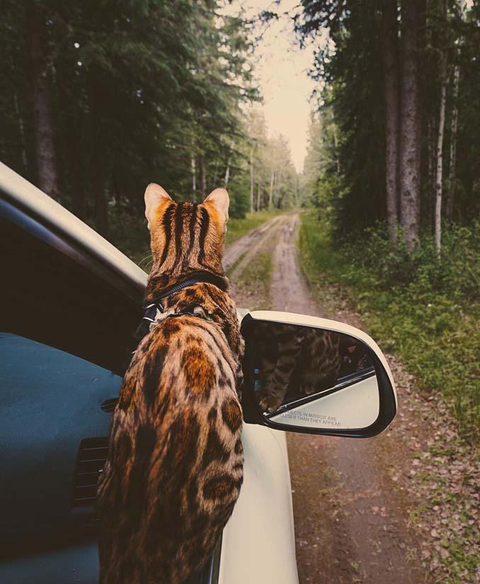 Οι περιπέτειες μιας πανέμορφης γάτας στην άγρια φύση του Καναδά (6)