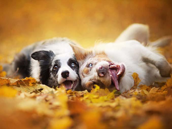 Σκύλοι που έχουν τρελαθεί με το Φθινόπωρο (8)