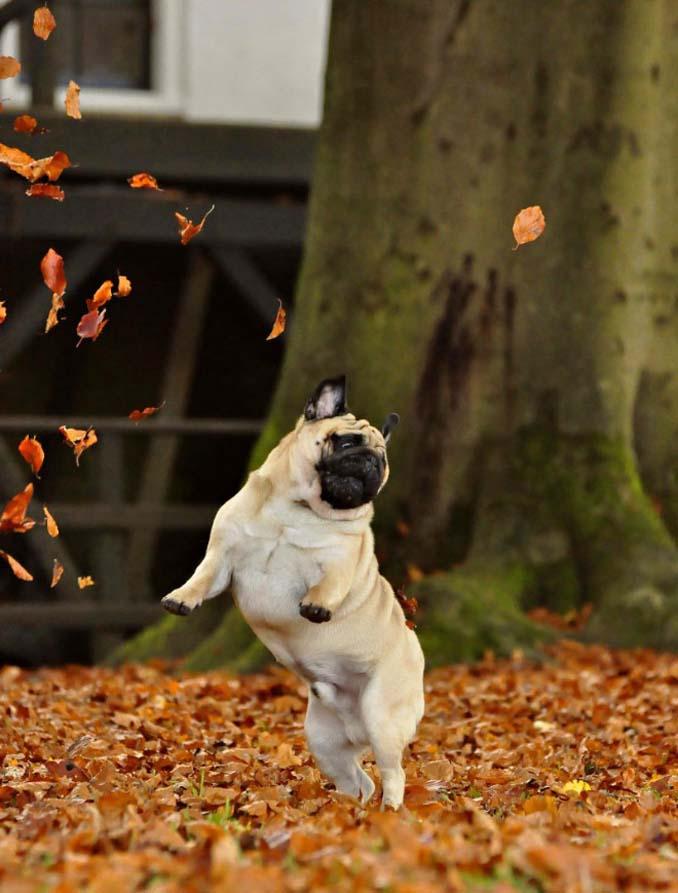 Σκύλοι που έχουν τρελαθεί με το Φθινόπωρο (11)