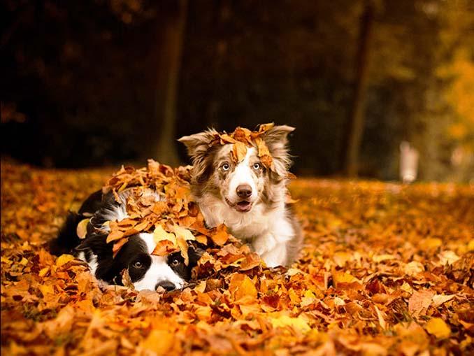 Σκύλοι που έχουν τρελαθεί με το Φθινόπωρο (13)
