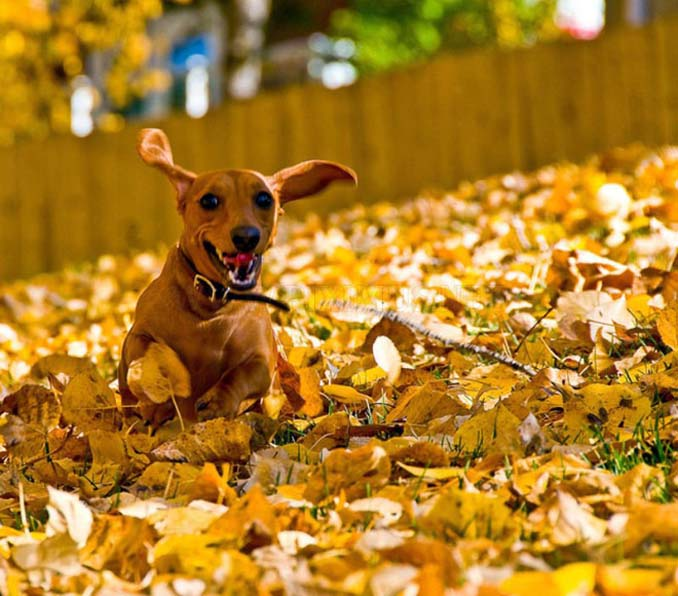 Σκύλοι που έχουν τρελαθεί με το Φθινόπωρο (14)