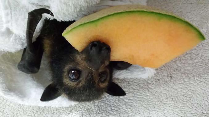 Αν πιστεύετε πως οι νυχτερίδες είναι τρομακτικές αυτές οι φωτογραφίες θα σας αλλάξουν γνώμη (6)