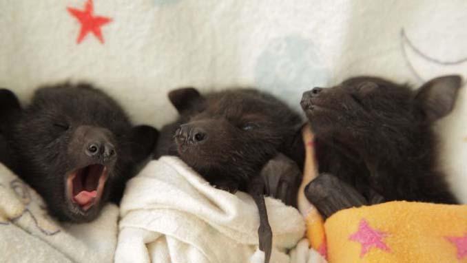 Αν πιστεύετε πως οι νυχτερίδες είναι τρομακτικές αυτές οι φωτογραφίες θα σας αλλάξουν γνώμη (10)