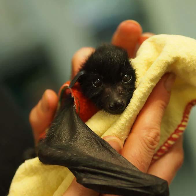 Αν πιστεύετε πως οι νυχτερίδες είναι τρομακτικές αυτές οι φωτογραφίες θα σας αλλάξουν γνώμη (11)