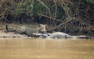 Jaguar vs Caiman (1)
