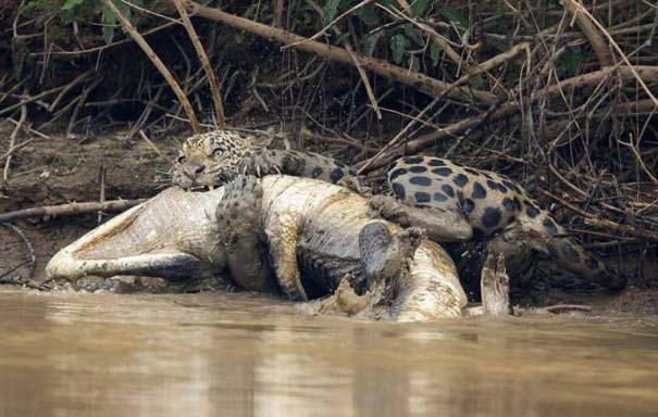 Jaguar vs Caiman (2)