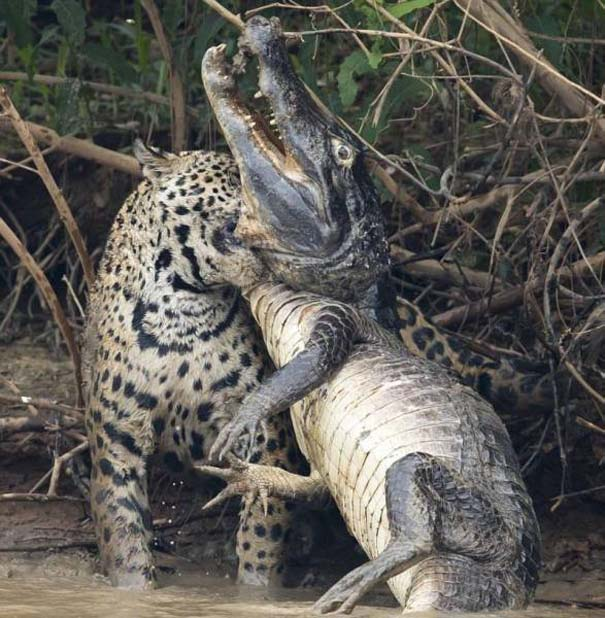 Jaguar vs Caiman (4)