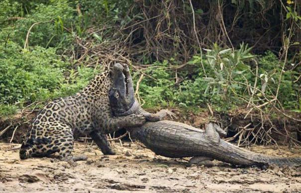Jaguar vs Caiman (5)