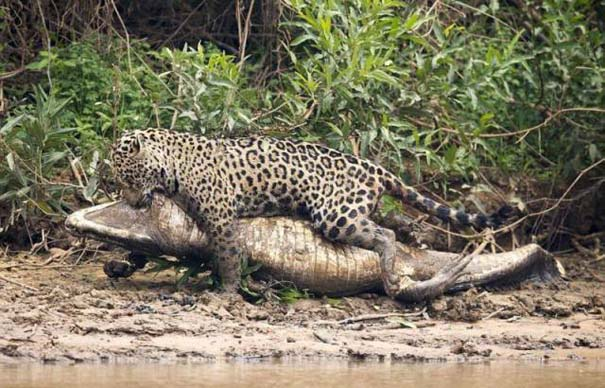 Jaguar vs Caiman (7)