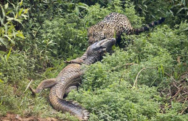Jaguar vs Caiman (8)