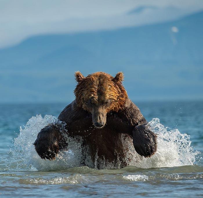 Επικό στιγμιότυπο αρκούδας που κυνηγάει σολομό | Φωτογραφία της ημέρας