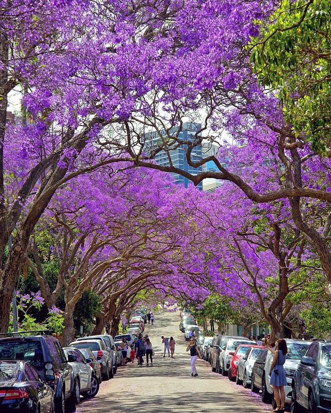 Περπατώντας κάτω από τα δέντρα Γιακαράντα   Φωτογραφία της ημέρας