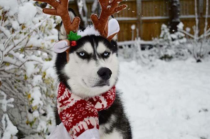 Η χριστουγεννιάτικη φωτογράφιση με το Χάσκι βγήκε ξεκαρδιστικά αποτυχημένη (7)
