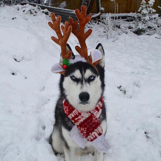 Η χριστουγεννιάτικη φωτογράφιση με το Χάσκι βγήκε ξεκαρδιστικά αποτυχημένη (9)