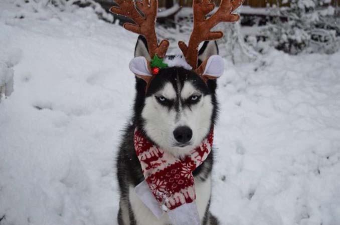Η χριστουγεννιάτικη φωτογράφιση με το Χάσκι βγήκε ξεκαρδιστικά αποτυχημένη (5)