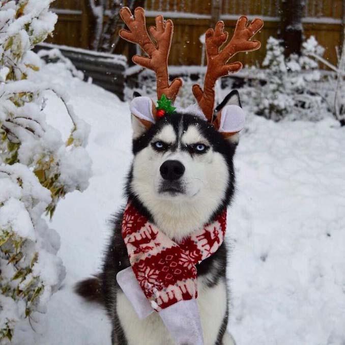 Η χριστουγεννιάτικη φωτογράφιση με το Χάσκι βγήκε ξεκαρδιστικά αποτυχημένη (2)