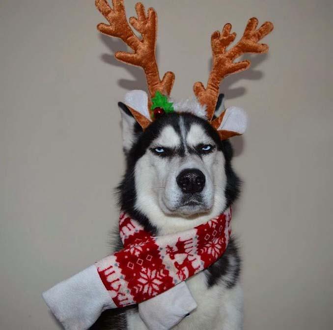 Η χριστουγεννιάτικη φωτογράφιση με το Χάσκι βγήκε ξεκαρδιστικά αποτυχημένη (1)
