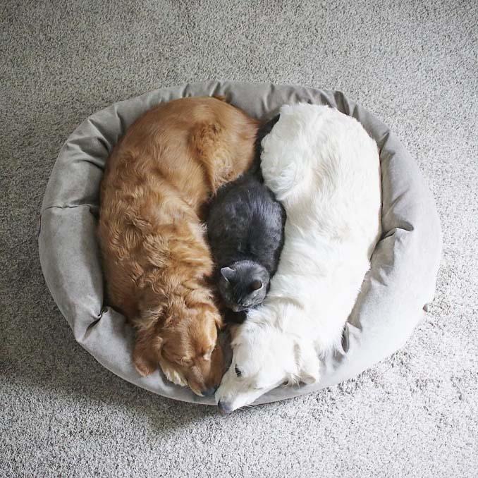 Μια απίθανη παρέα: Δυο σκύλοι και μια γάτα κάνουν τα πάντα μαζί (2)